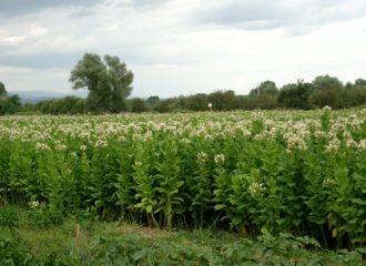 отглеждане на тютюн в района на Гоце Делчев